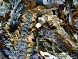 Kelp seaweed textures and patterns in the strandline