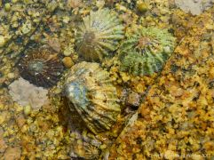 Limpets living on granite at Dogs Bay