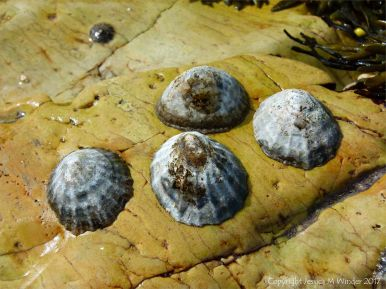Limpets on yellow rock