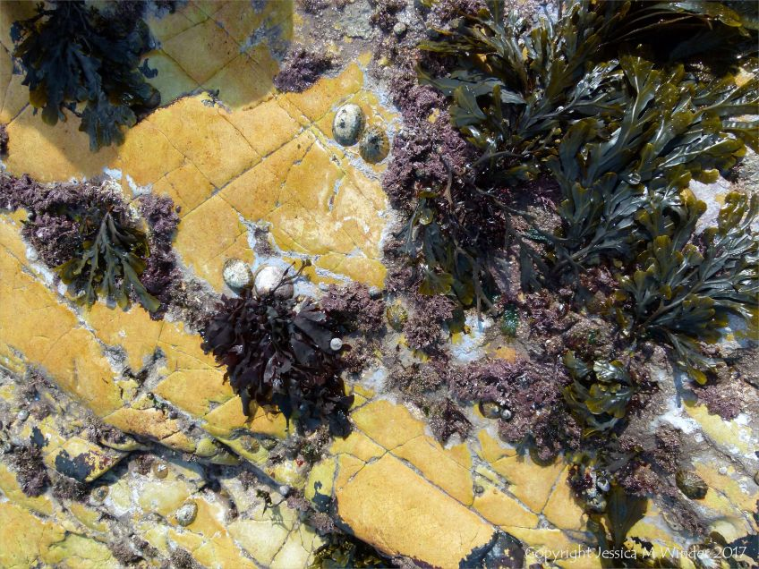 Seaweed and molluscs on yellow rock