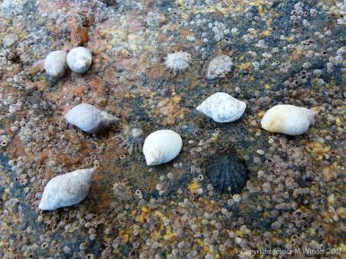 Seashore life on granite at Dogs Bay