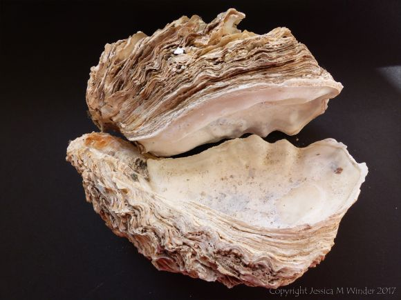 Thick Shell of Crassostrea gigas