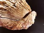 Thick Shell of Crassostrea gigas