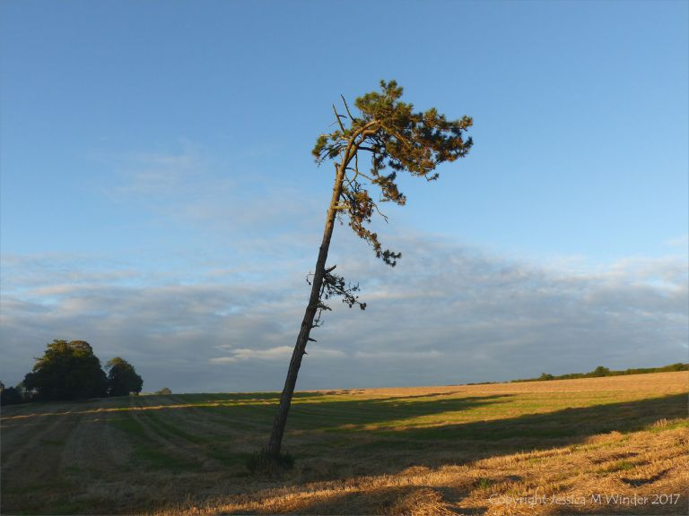 Lonely pine tree in a harvested wheat field