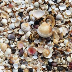 Seashells on the beach at Swansea Bay