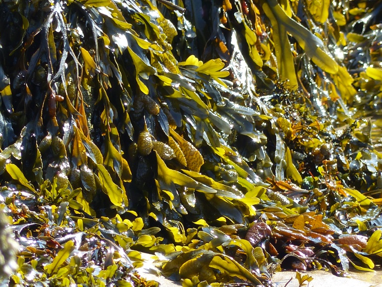 Sunlight shining through fronds of seaweed