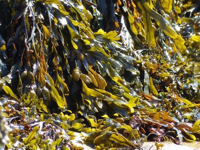Sunlight shining through fronds of seaweed