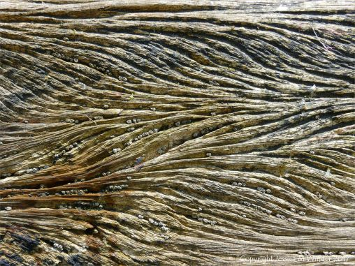 Curvilinear ridges and grooves with barnacles in water-worn timber of an old breakwater