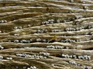 Ridges and grooves with resident barnacles in water-worn timber of an old breakwater