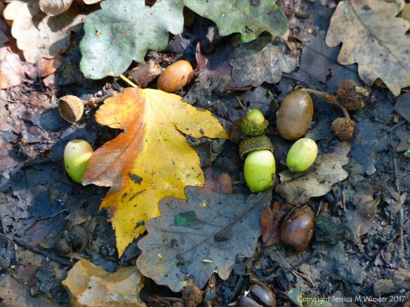 Acorns and leaves lying on the woodland floor in autumn