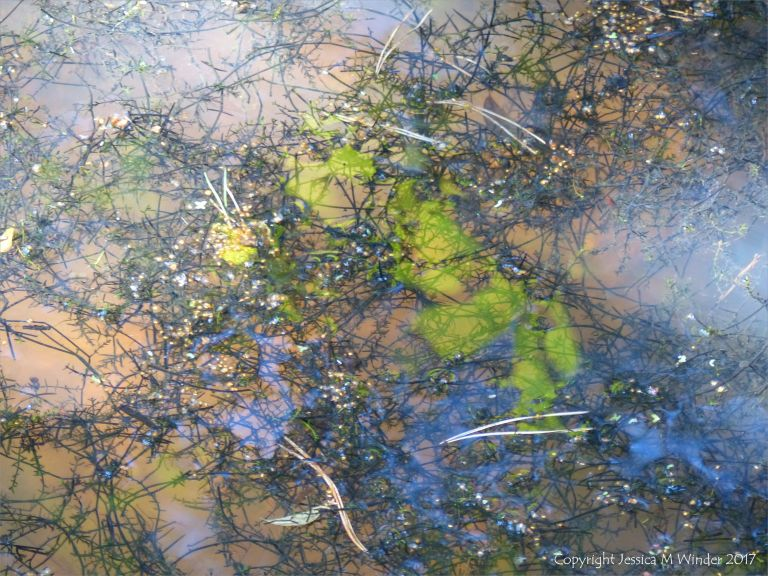 Decaying aquatic vegetation in a shallow water pond