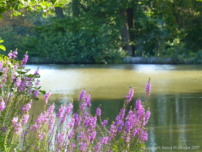 Purple flowers on the dge of a pond