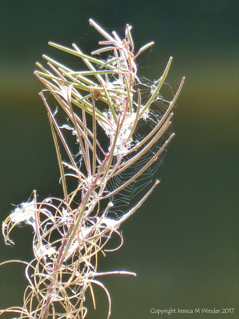 Seed pods and cobwebs on willow herb