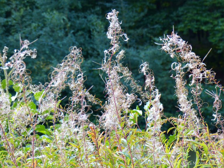 Rose bay willow herb seed heads