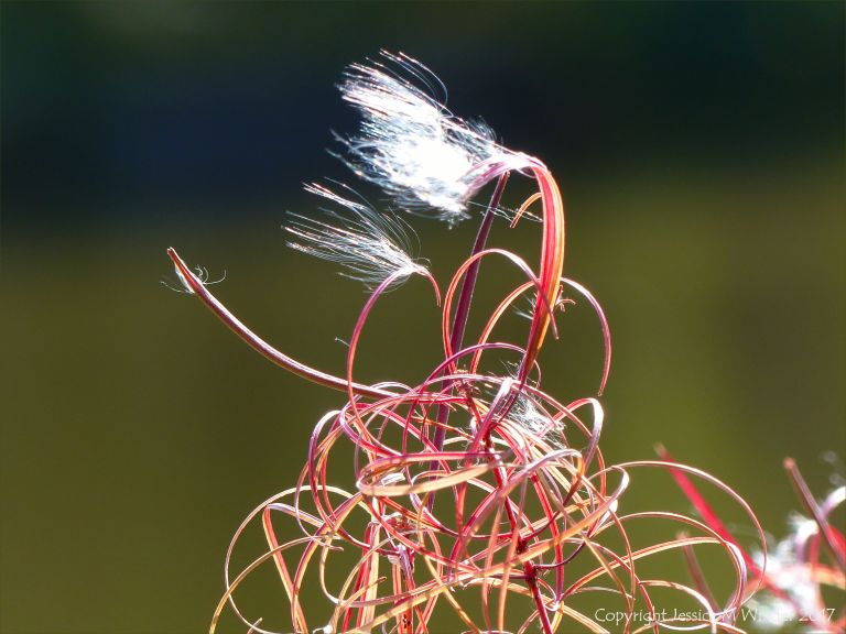Willow herb seed head