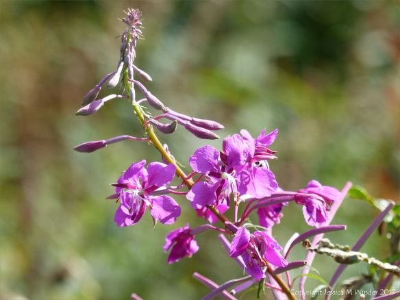 Willow Herb flowers