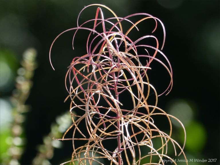 Drying seed pods on the stem of willow herb