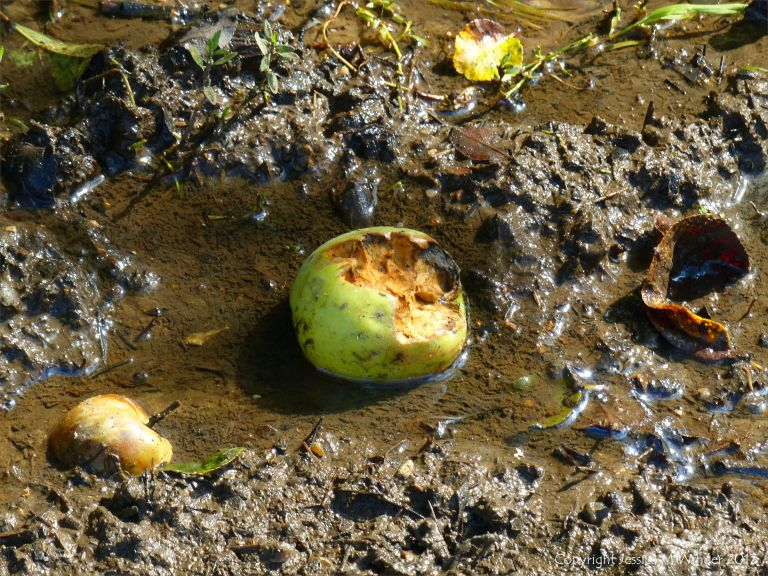 Partly eaten apple lying on the muddy ground