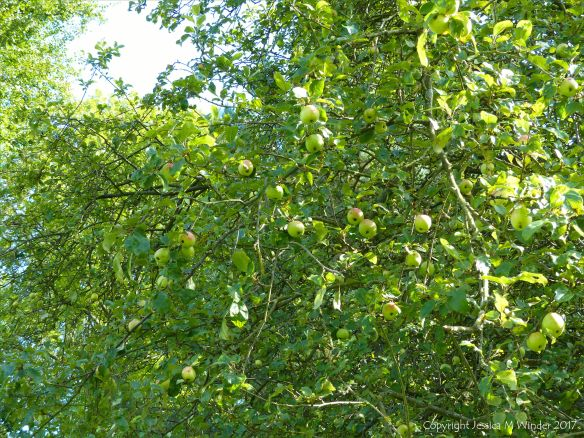 Lots of apples ripening on the tree in early autumn
