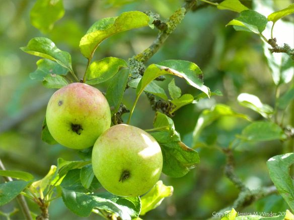 Two apples ripening on the tree