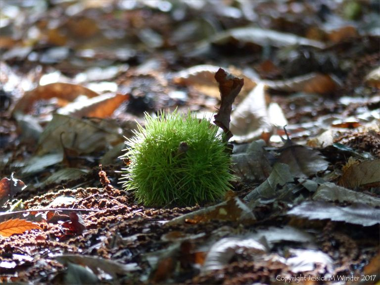 Sweet Chestnut with spikey green case lying on the woodland floor