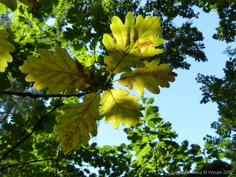 The first few leaves to change colour in the autumn on an oak tree