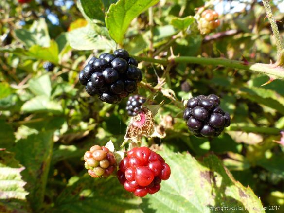 Ripe and unripe blackberries on the briar