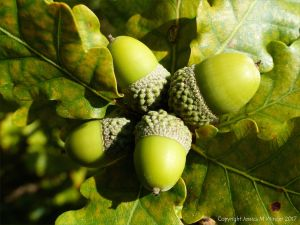 Fat green acorns in their cups on the tree