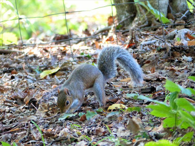 Squirrel burying acorns
