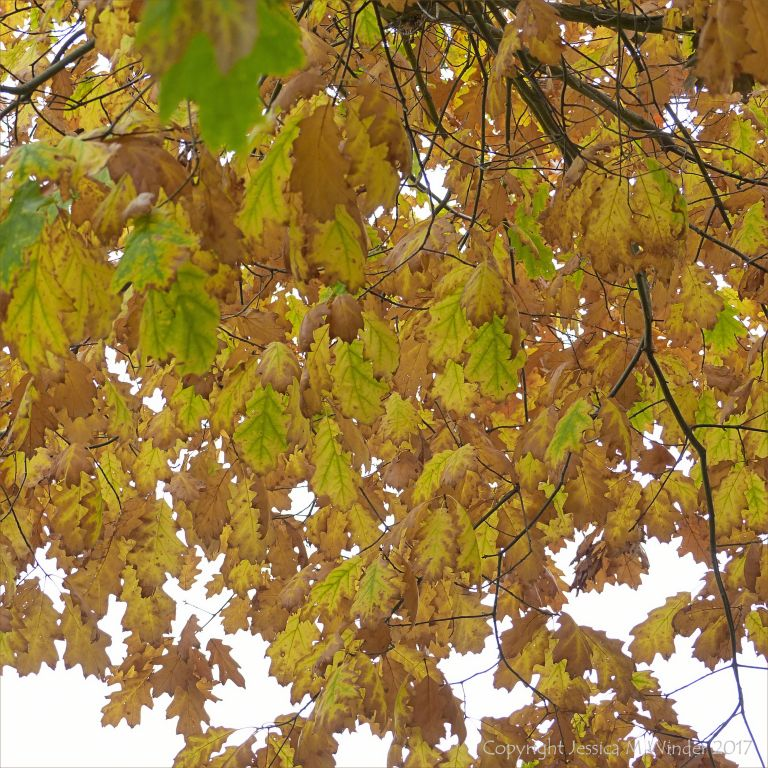 Leaves on the Red Oak tree (Quercus rubra) changing colour in autumn