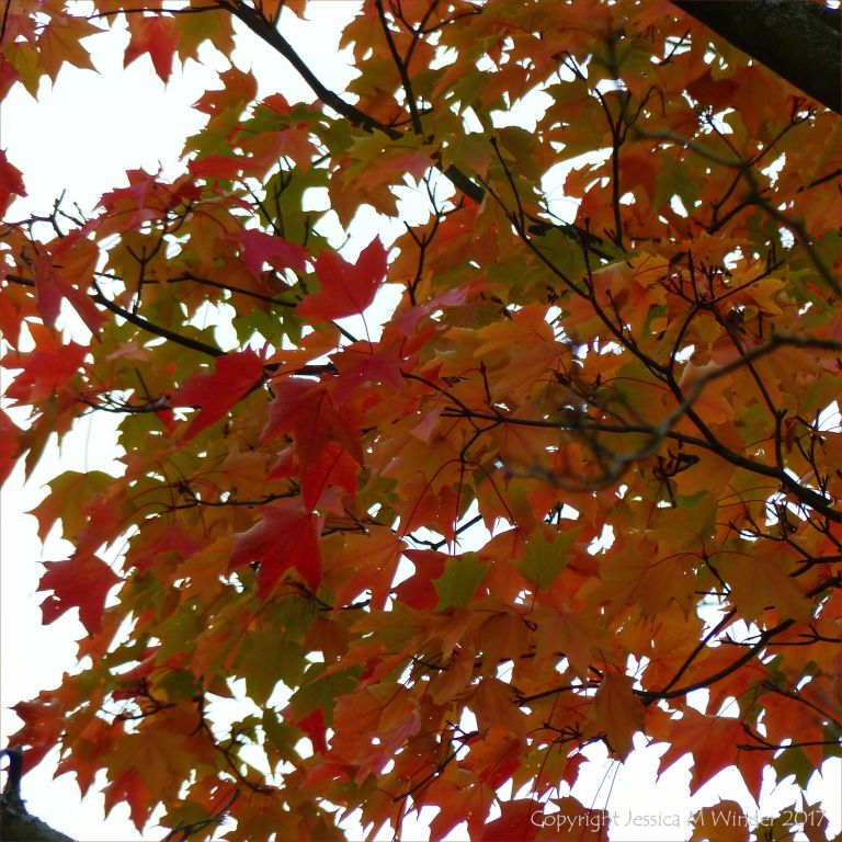 Red leaves on Japanese Maple (Acer japonicum) in autumn