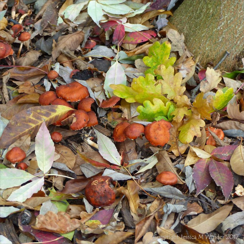 Unidentified fugi growing among fallen autumn leaves at Kew Gardens