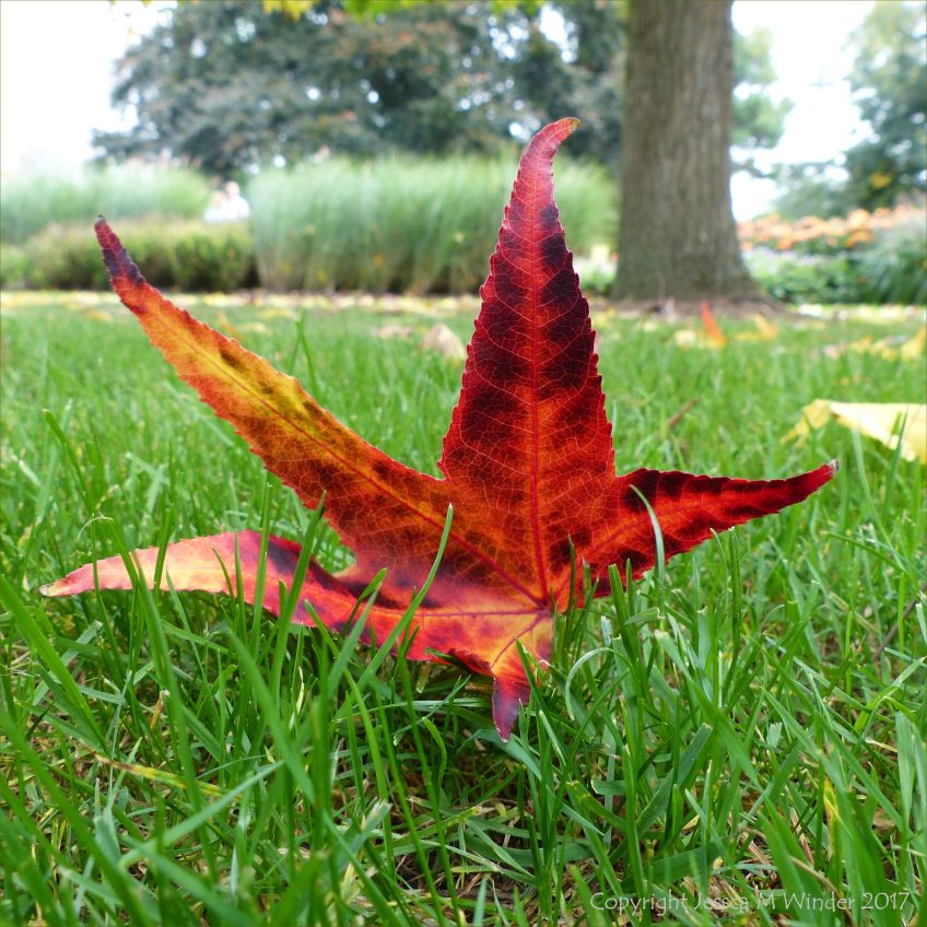 Random red autumnal leaf in the grass at Kew Gardens