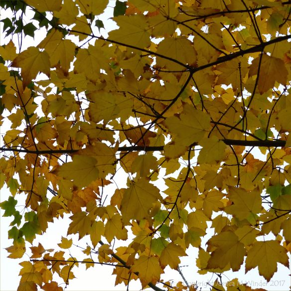 Autumnal yellow Norway Maple (Acer platanoides) leaves at Kew Gardens