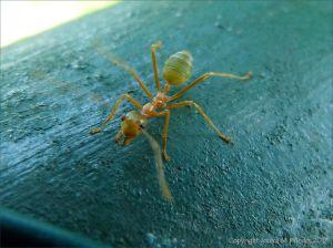 Weaver or Tree Ant