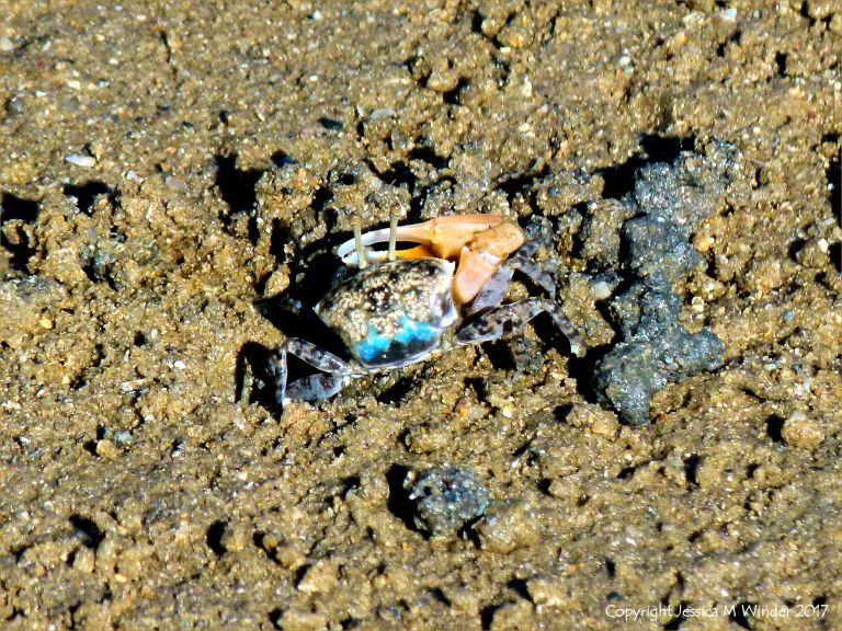 Fiddler crab on a muddy seashore
