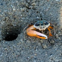 Fiddler crab by its burrow on a muddy seashore in Australia