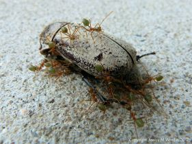 Weaver or Tree Ants (Oecophylla spp.) on a dead Christmas Beetle (Anoplognathus sp.)