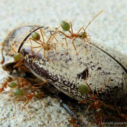 Weaver of Tree Ants on a dead Christmas Beetle