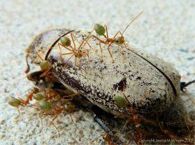 Weaver of Tree Ants on a dead Christmas Beetle