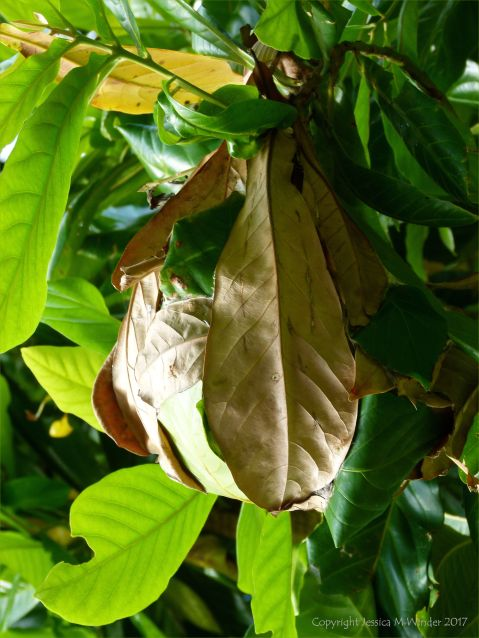 Weaver or Tree Ant nest made from living leaves bound together by silk