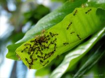 Weaver Ants in Australia nest making