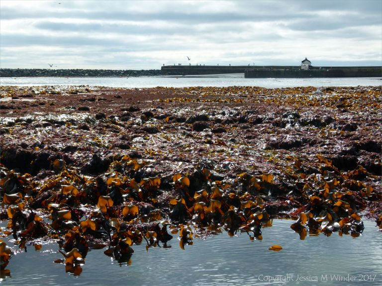 Beds of seaweed exposed at low tide in Lyme Regis