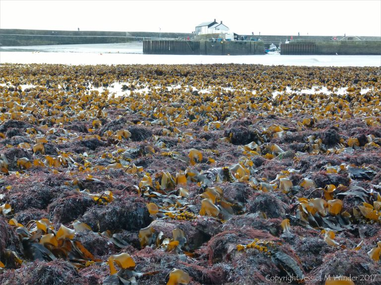 Seaweed beds at low tide in Lyme Regis, Dorset, UK.