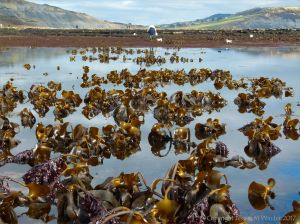 Beds of kelp and other seaweeds at Lyme Regis in Dorset, UK, along the Jurassic coast.