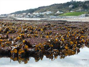 Beds of kelp and other seaweeds at low tide in Lyme Regis, Dorset, UK.