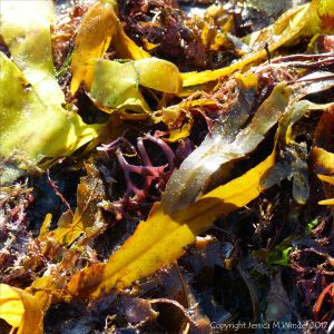 Strands of various common British seaweeds on the beach