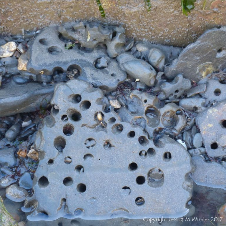 Pieces of shale on the beach with holes made by piddocks