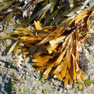 Yellowing Toothed Wrack (Fucus serratus) on shale with piddock holes