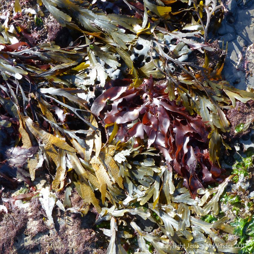 Common British red and green seaweeds growing on rocks